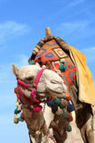 Camel in egypt Stock Photo