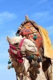 Camel in egypt. Over blue sky Stock Photo