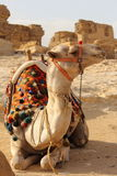 Camel in egypt. Egyptian giza pyramid over cloudy sky Stock Images