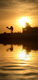 Camel in Egypt. A camel silhouette with the low Sun behind it, next to the river Nile Royalty Free Stock Photo