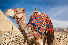 Camel in Egypt Stock Photo