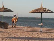 Egypt camel ride Stock Photo