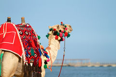 Camel in Egypt on beach Royalty Free Stock Photo