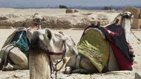 Camel in Egypt. Camels in Egypt with riding saddles on stock video footage
