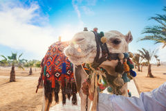 Camel in Egypt Royalty Free Stock Photo