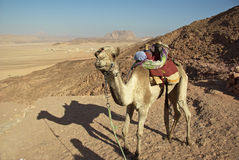 Camel in Egyptian desert. Held by bedouin with nomad camp behind Stock Images