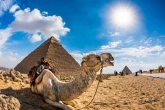 Camel in the Egyptian desert Royalty Free Stock Photos