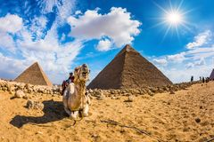 Camel in the Egyptian desert Royalty Free Stock Images
