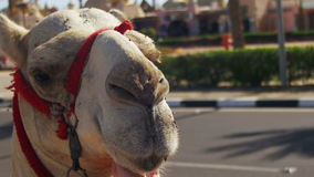 Camel with Egyptian Man near the Tourist Place stock footage