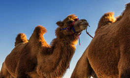 Camel. This is the camel in the Ejin district of Inner Mongolia Autonomous Region Stock Image