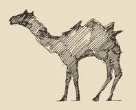 Camel Engraved Illustration Hand Drawn Sketch Stock Photos