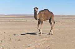 Camel at Erg Chebbi, Morocco Stock Photo