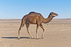 Camel at Erg Chebbi, Morocco. Camel standing at Erg Chebbi dunes, Morocco Stock Images