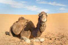 Camel in Erg Chebbi Sand dunes near Merzouga, Morocco Stock Photography