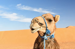 Camel in Erg Chebbi Sand dunes near Merzouga, Morocco Royalty Free Stock Images