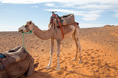 Camel in the Erg Shebbi desert in Morocco Royalty Free Stock Images