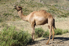 Camel, Ethiopia, Africa. Arabian camel, North of Ethiopia, Africa Stock Photography