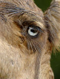 Camel eye Royalty Free Stock Photos