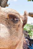 Camel eye side closeup with the ear and head Stock Images
