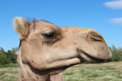 Camel eyeing you Royalty Free Stock Image