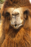 Camel face Royalty Free Stock Image