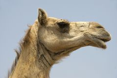 Camel Face Royalty Free Stock Images