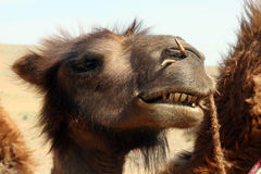 Camel Face. Face of a camel with a rope through his nose for leading Stock Image