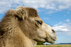 Camel face Stock Photo
