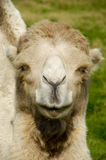Camel face Stock Photography