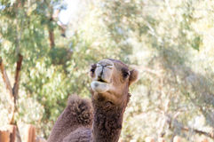 Free Camel Face Royalty Free Stock Image - 82039416