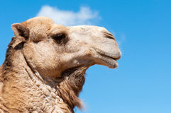 Camel face with blue sky Royalty Free Stock Photography