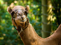 Camel Face Stock Photos