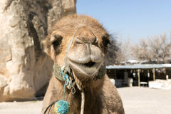 Camel face. Close up of camel face and head Stock Photography