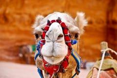 Camel face. Closeup looking in the desert of Jordan Royalty Free Stock Photos