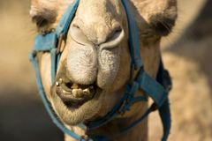 Camel. Face closeup with teeth, nose and eyes Royalty Free Stock Images