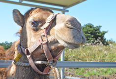 Camel face Stock Images