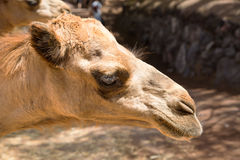 Camel face with palms , in the summer, fuerteventura. Africa ancient asia eye backgrounds blue brown hump close-up contrast detail ecology dromedary exotic eyes Stock Photo