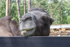 Camel  face  portrait  closeup. Summer day outdoors Royalty Free Stock Photo