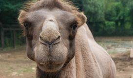 Camel face`s close-up picture. Green trees on background Stock Images