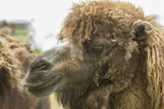 Camel face Royalty Free Stock Photography