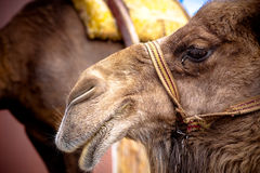 Camel Face. Face of Camel in Turkey stock image