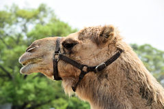 Camel face in macro Royalty Free Stock Image
