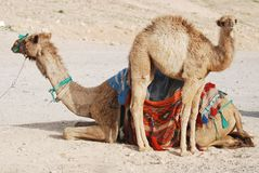 Camel family Royalty Free Stock Images