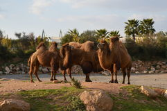 Camel family Stock Image