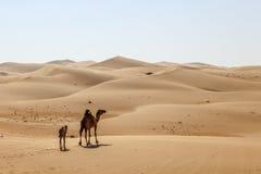 Camel family in the desert Stock Photos