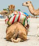 Camel family Royalty Free Stock Image