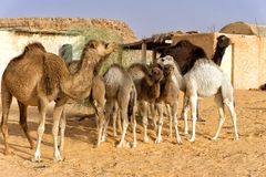 Camel Family in the Sahara Desert, Tunisia stock images