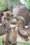Camel family Royalty Free Stock Photo