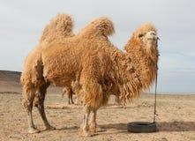 Camel Farm Royalty Free Stock Photo