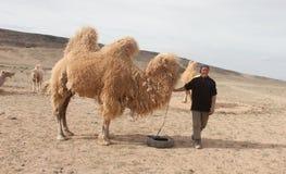 Camel Farm Stock Images